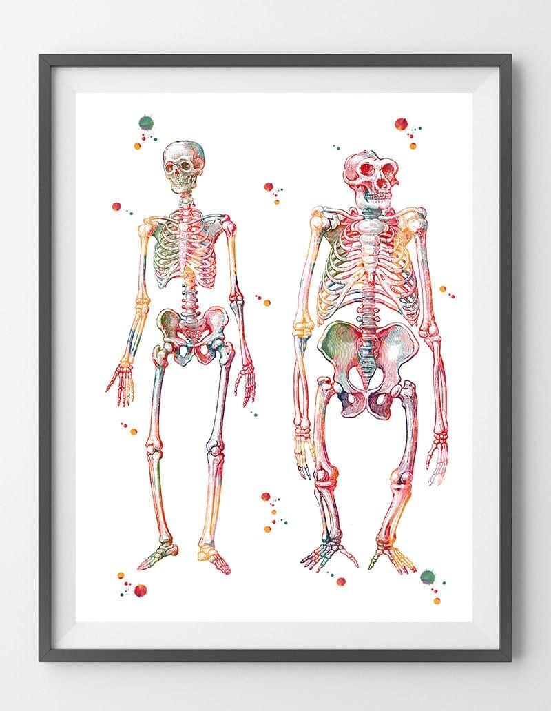 Anatomie-Kunst-Mensch und Gorilla Skelett drucken Wissenschaft