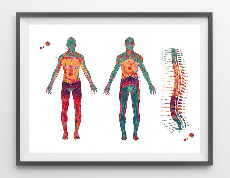 Dermatome Map Watercolor Print Spine Vertee and Dermatomes | Etsy on
