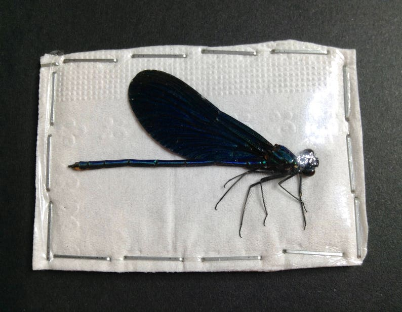 dried unmounted bugs artwork supply Calopteryx virgo Blue Damselfly Insect Taxidermy entomology specimen collection