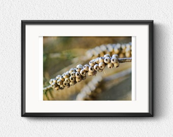 Photo Print, Twig with Nuts - Macro photograph of Twig with Nuts