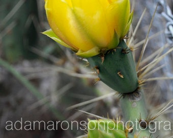Photograph of a Prickly Pear Cactus