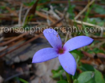 Photograph of a Texas Wildflower