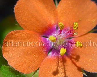 Photograph of a Scarlet Pimpernel