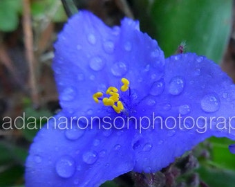 Photograph of Blue Flower with Dew