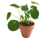 Pip, the Pilea peperomioides (Chinese Money Plant)