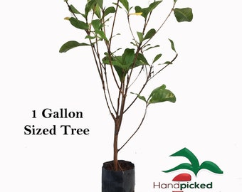 1 Miracle fruit tree - 1 gallon size plant - 2-3'