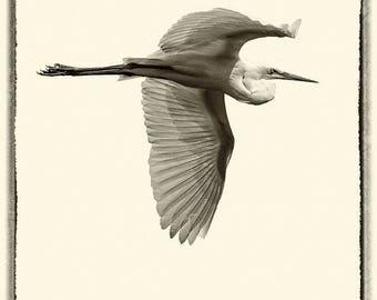 Sepia picture of Egret in flight.