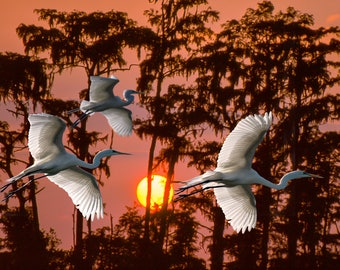 Three Egrets against the setting sun in the Okefenokee swamp