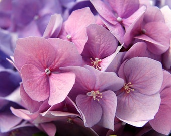 botanical photography purple hydrangea, picture  hydrangea, romantic decor Wall, wall flowers, making cards, decor flowers room, spring