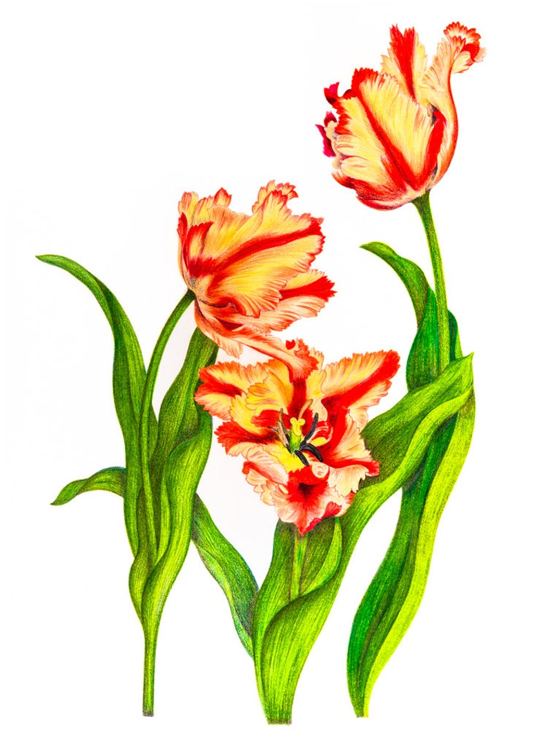 Parrot tulip nature colored pencil drawing reproduction fine art print or wrapped canvas for home decor
