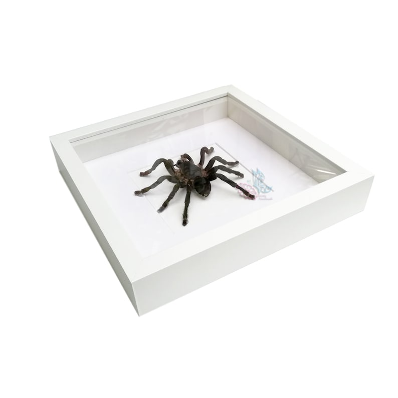 Real Giant Spider Thai Black Tarantula Insect Taxidermy Painted Shadowbox White Frame Mounted Display Framed 3D Wall Home Decor