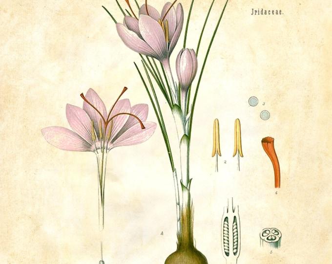 Botanical Print Crocus flower choice of replica antique ledger, journal, almanac, vintage collage beautiful FARMHOUSE wall decor BOTCR01