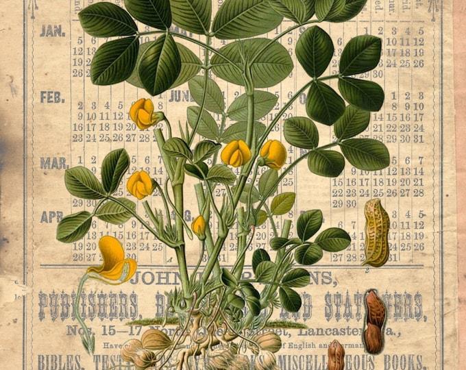 Botanical Peanut vintage art print BOTP01
