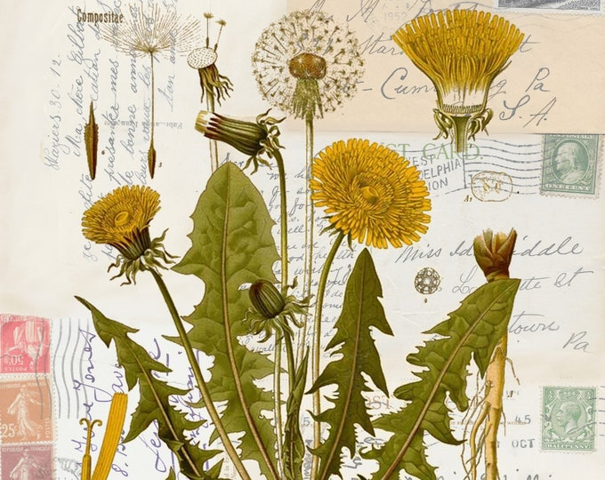 NEW antique postcard background botanical dandelion art print  DAN938
