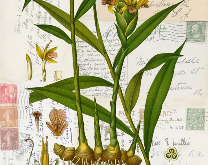 NEW botanical garden ginger  on antique postcard background art print  GG298