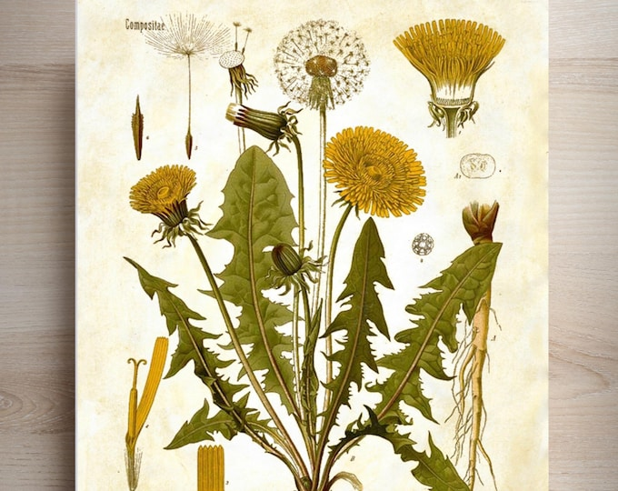 Botanical Vintage Print Dandelion custom choice of print background, antique papers personalized FARMHOUSE wall decor DAN0485