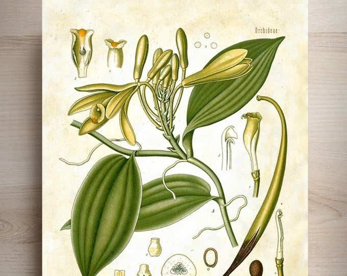 Botanical Print Vanilla choice of background antique ledger, journal, almanac, vintage collage beautiful wall kitchen FARMHOUSE decor VAN302