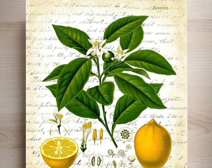 Botanical Print Lemon art print BPL3259