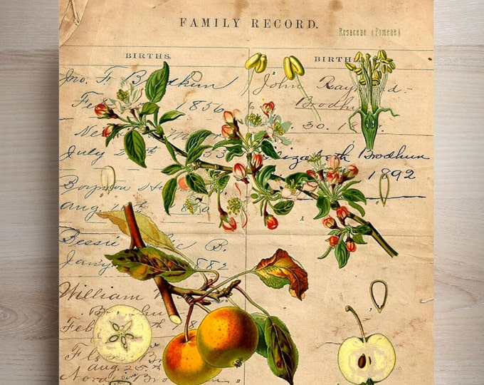 Vintage Botanical Print Apple fruit art print BAF2345