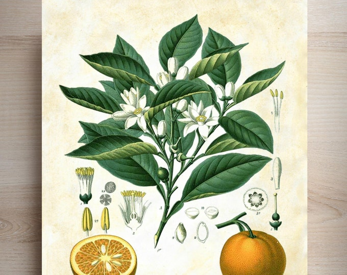 Vintage Botanical Orange art print BVOP29