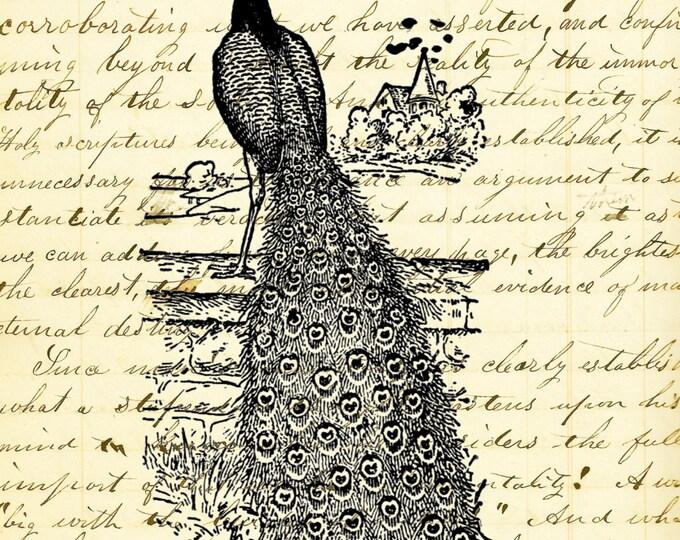 Vintage Peacock art print PBP9385