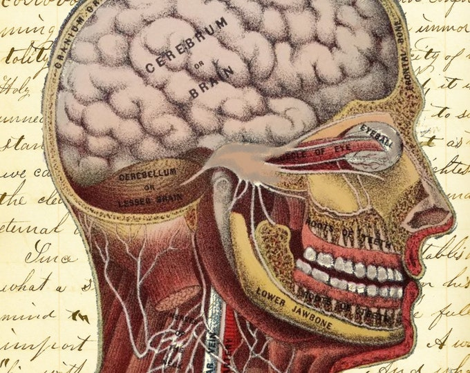 Human head brain vintage medical image doctor medical student teacher gift art print MD300
