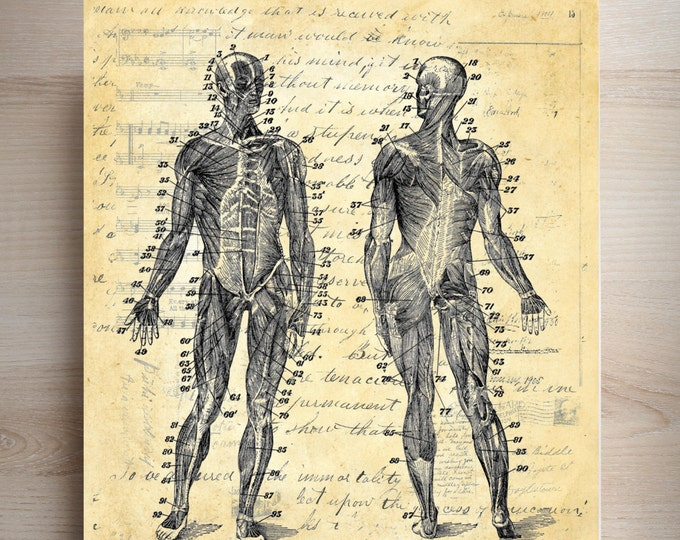 Human body diagram muscular system vintage art print HBD3945