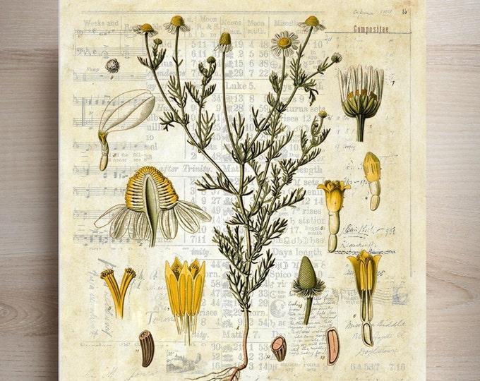 Vintage Chamomile Botanical art print BPC3374