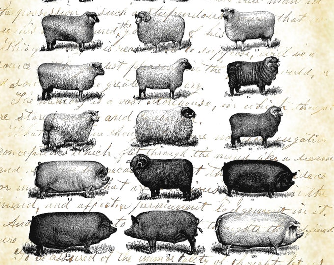 Sheep Swine study Farmhouse Decor art print SSS397