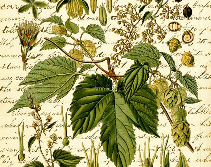 Botanical Print Common Hop beer art print BPC112