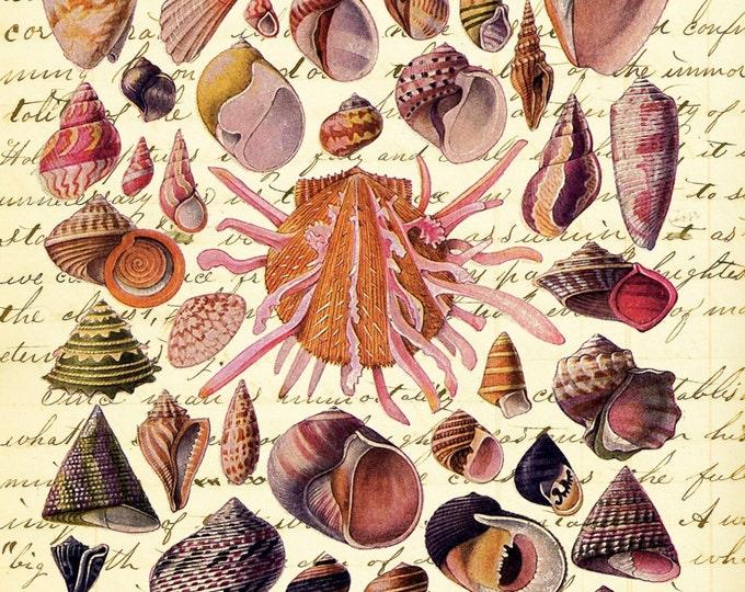 Shell study 2 Nautical beach decor vintage art print SS29487