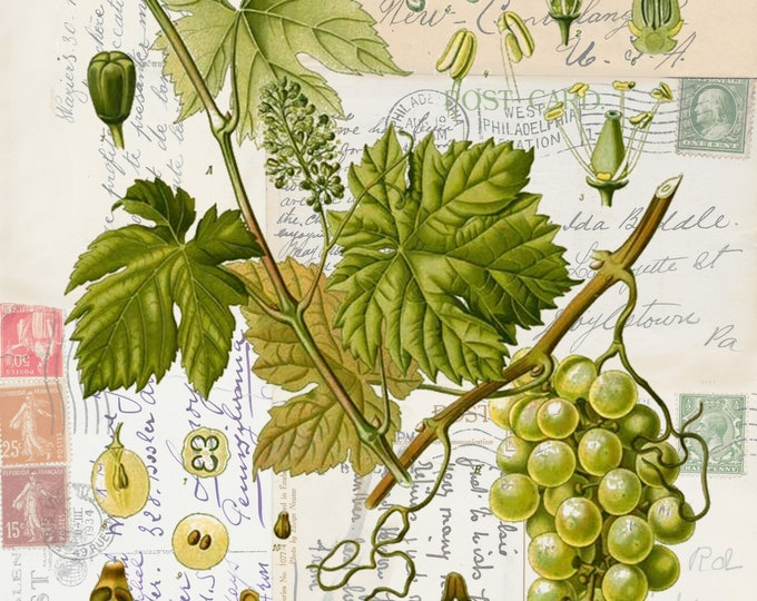 NEW botanical grape on antique postcard background art print  GR298