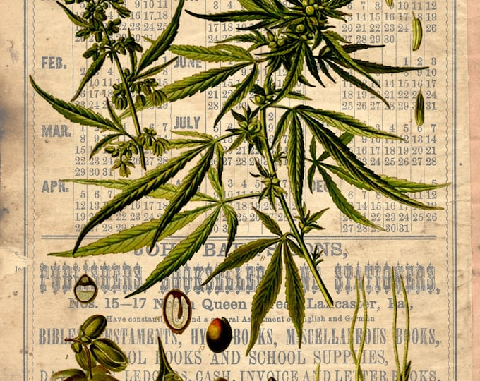 Marijuana cannabis botanical art print wall decor BOTM02