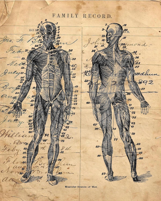 Human Body Diagram Muscular System Vintage Art Print Hbd3945