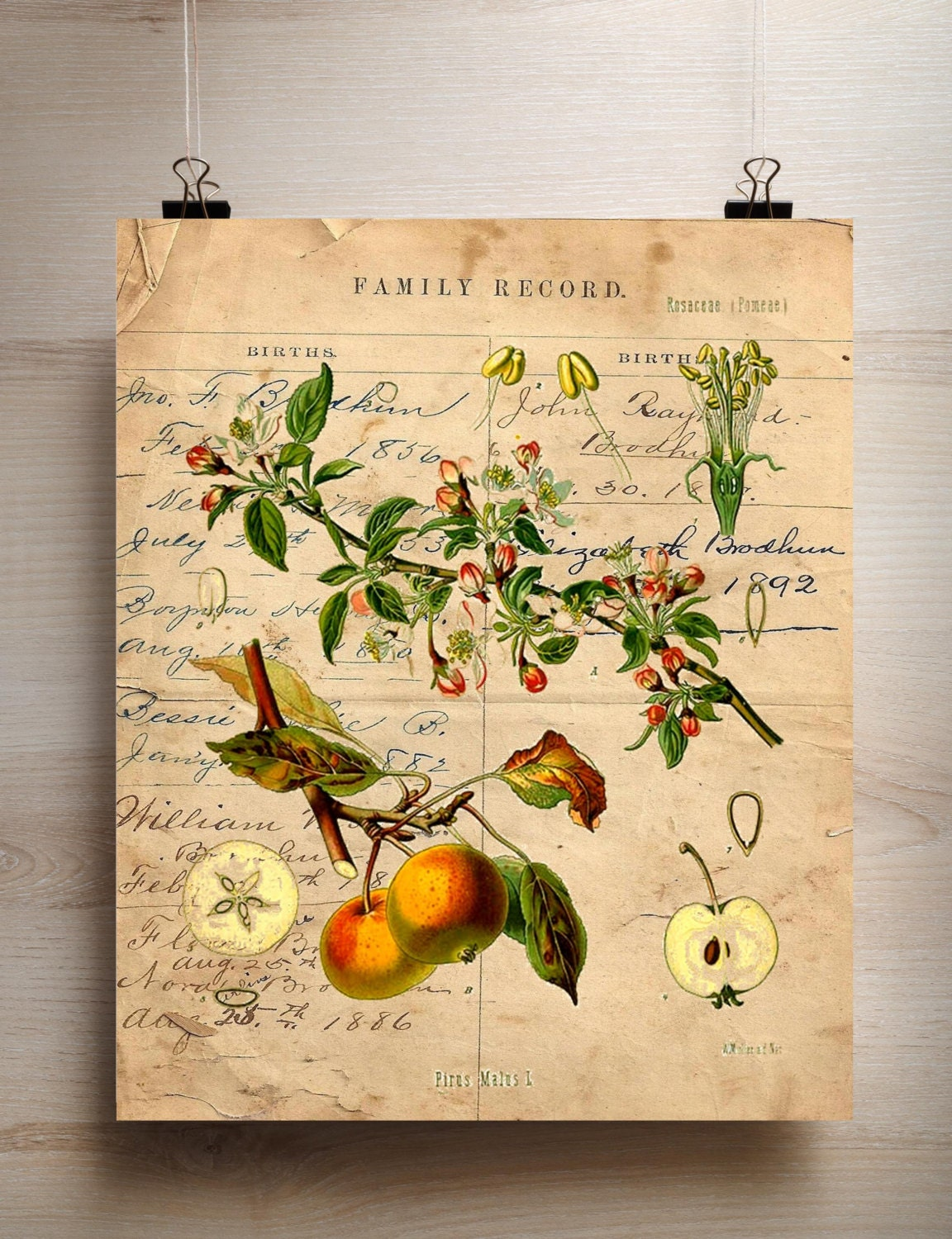 Botanical Print Apple fruit choice of background antique ledger ...