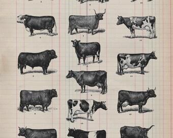 Real Antique Paper Print Cow Study from 19th Century decor cows barn farm art print wall farmhouse rustic 1800s VP09745