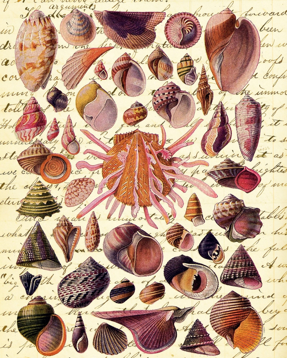 Shell Study 2 Nautical Beach Decor Vintage Art Print Ss29487