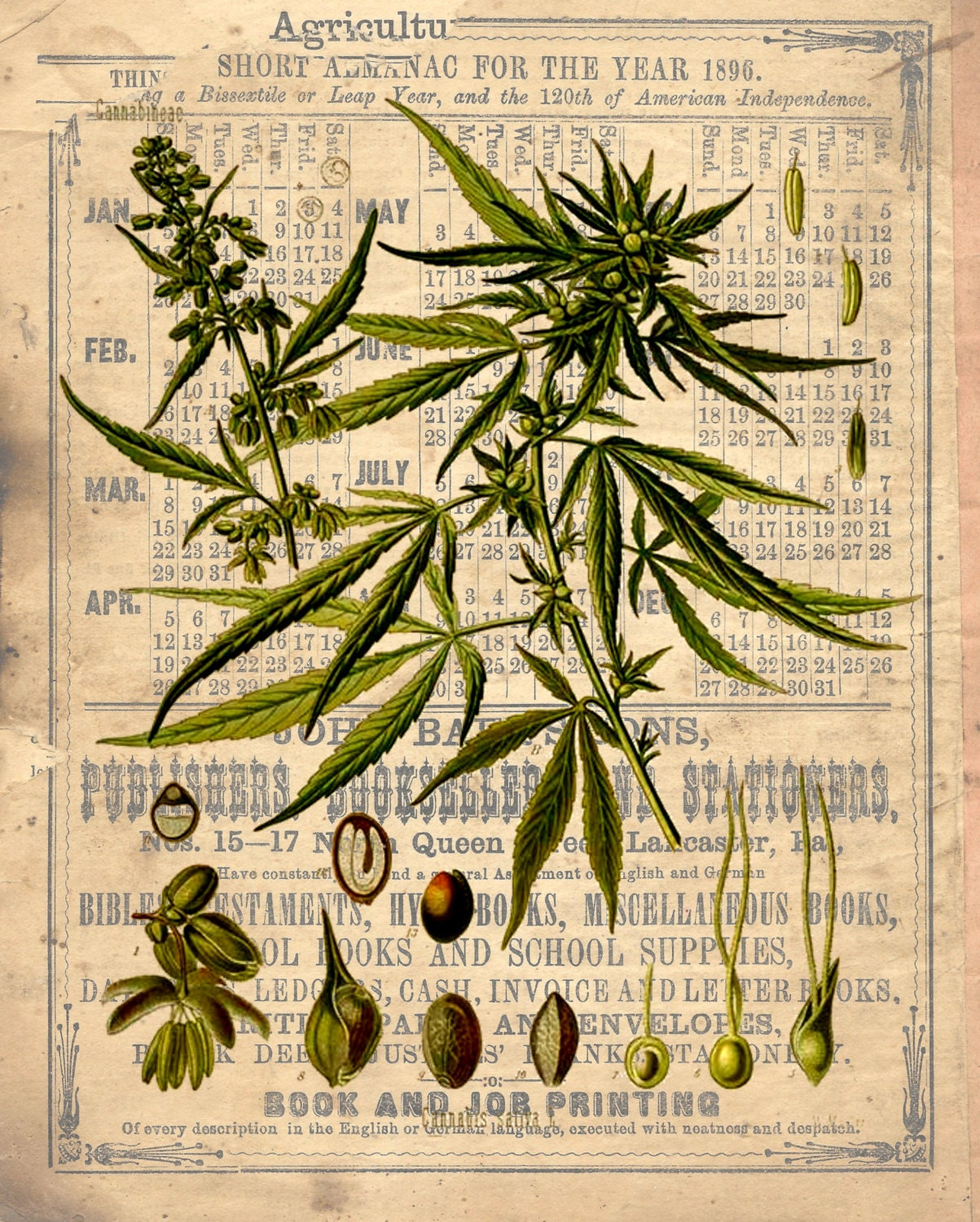 Botanical Print Marijuana cannabis choice of replica antique print ...