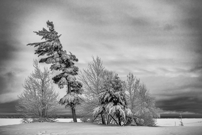 Snow on branches North Bay Ontario