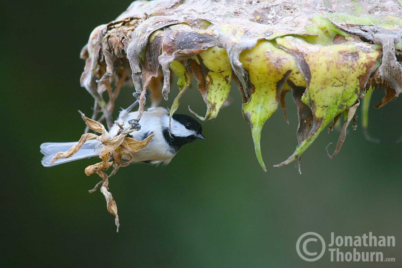 Black Capped Chickadee Feeding On Sunflower Seeds Birds Etsy