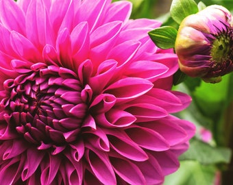 Hot Pink Dahlia Flower Photo Print