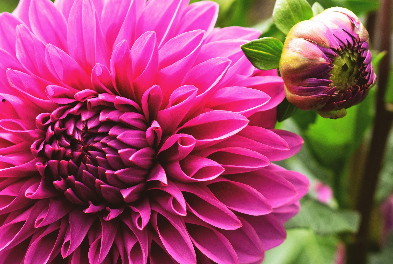 Hot pink dahlia flower photo print etsy 50 izmirmasajfo