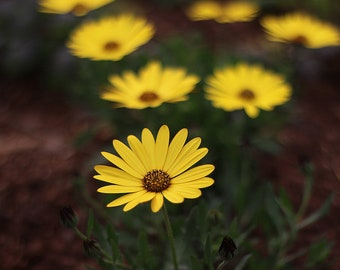 Yellow Flower Print / Floral Photography / Mother's Day Photo / Fine Art Photography / Nature Photography / Sunflower Photo