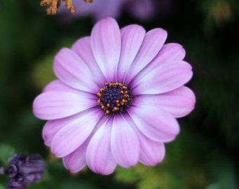 Purple Flower Print / Floral Photography / Mother's Day Photo / Purple Daisy Photo / Fine Art Photography / Nature Photography