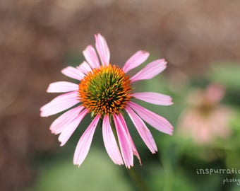 Pink Flower Print / Floral Photography / Mother's Day Photo / Coneflower Photo / Fine Art Photography / Nature Photography