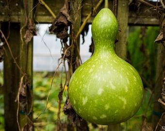 DIY ornamental interesting gourd TS360T 10 seeds Long Handle Dipper Gourd
