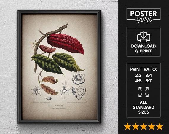 Cacao Vintage Botanical Floral Illustration Art Poster 24x36