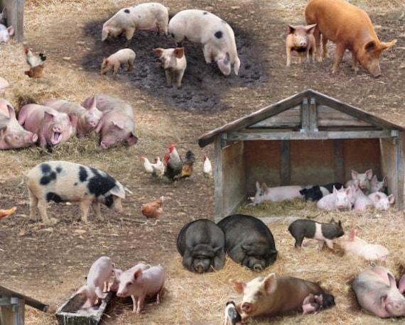 The 3 L'il Pigs 2