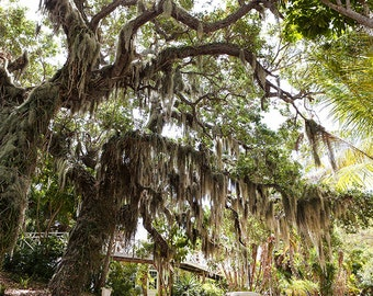 Useppa Island, Sanibel Island, Black and White Photography, Mossy Tree Photography, Wall Art, Nature Photography, Captiva Island, Wrap