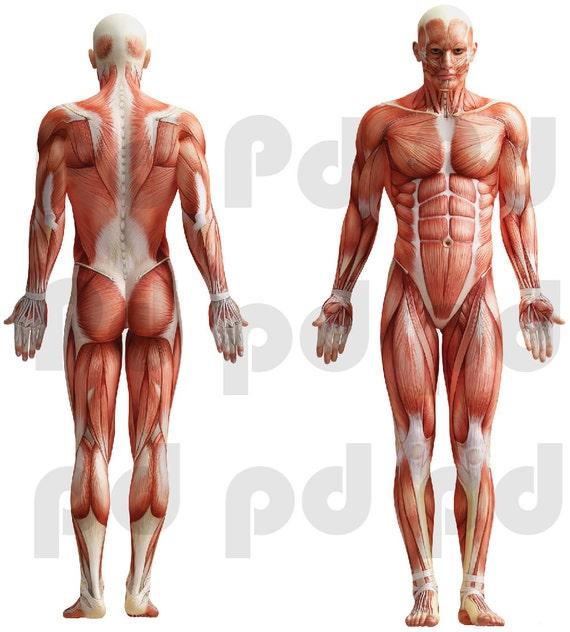 Humano cuerpo etiqueta humano músculo grupos Wallpaper | Etsy